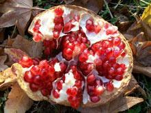 nar - otvoren plod
