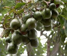 plodovi avokada na grani