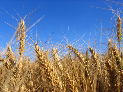 a field planted with wheat