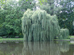 willow tree close to water